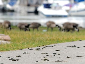 Too many geese can create public health and water quality issues